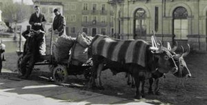Ruth Mathilda Anderson - Carretando Naranjas para el mercado de Lugo (1925) - La fotografía, en blanco y negro, muestra un carro tirado por dos bueyes. Sobre el carro se aprecian varios sacos de arpillera de gran tamaño llenos de naranjas y sobre él van dos hombres jóvenes de pie y uno sentado que miran a la cámara y sonríen. Pulse para ampliar.
