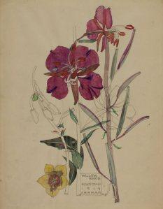Charles Rennie Mackintosh - Willow Herb (1919) - la imagen muestra una acuarela en la que aparecen dos flores silvestres en tonos rosados con su tallo sobre fondo color crema. Pulse para ampliar.