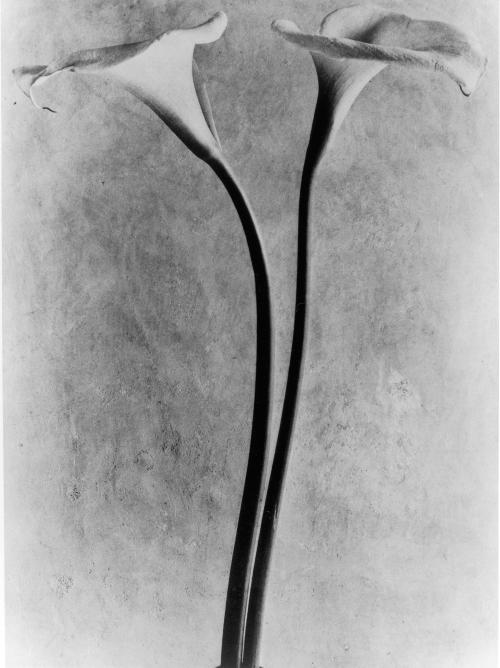 La imagen muestra una fotografía en la que se ven dos calas, una al lado de la otra sobre un fondo blanco. la luz dibuja suavemente el contorno de las flores su telón de fondo. Pulse para ampliar.